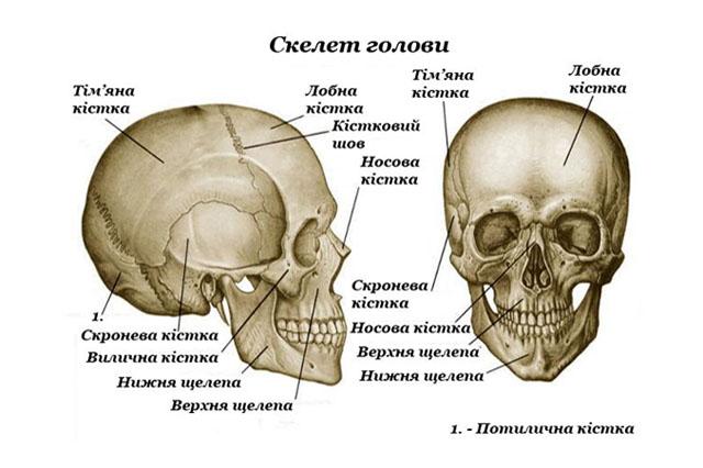 Череп людини (зазначені лише найбільші кістки)