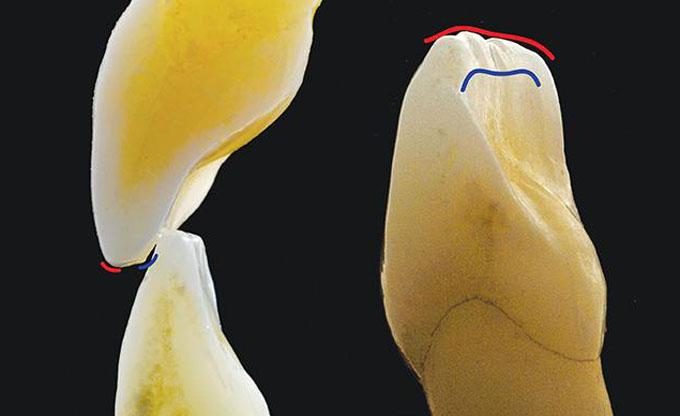 Фото 4. Ріжучий гребінь складається з лабіального краю (червона лінія) і лінгвального краю (синя лінія)