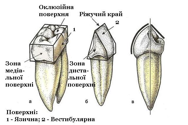 Мал. 1. Поверхні (а), край (б) і вісь (в) зуба