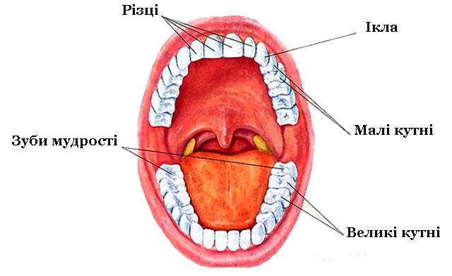 Постійні зуби людини