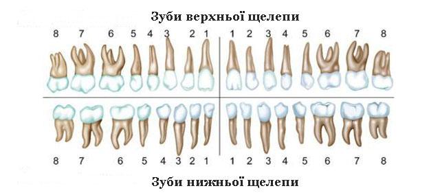 Нумерація зубів