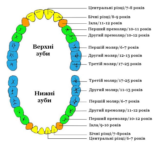Терміни прорізування постійних зубів